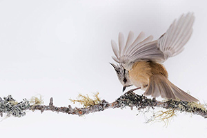 bird-crested-tit-bough